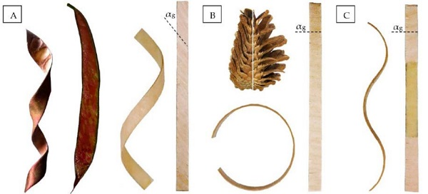 Figure 8 Shape transformations of bi-layered wood due to hygroscopic properties, through A) twisting, B) bending, C) sinusoidal curved. [9]