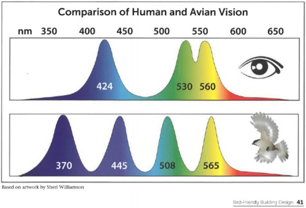 "Figure 8. Human Vision versus Avian Vision, as seen in ""Bird-Friendly Building Design,"" published by the American Bird Conservancy"